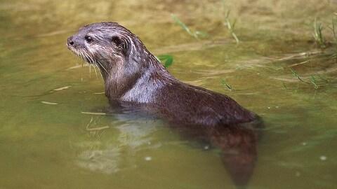 Une loutre avec un pelage brun dans une étendue d'eau.