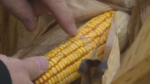 Un gros plan d'un épis de maïs.