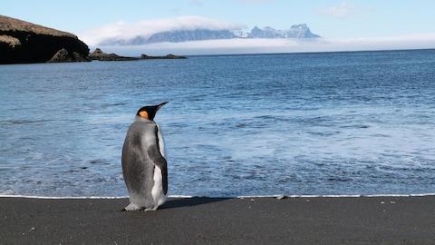 Un manchot en contemplation devant la mer en Antarctique