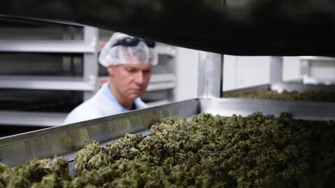 En premier plan, une étagère de métal couverte de cannabis et en arrière-plan un travailleur en habit sanitaire.