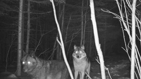 Deux loups se trouvent dans une forêt alors qu'il fait noir.