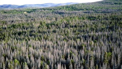 Une forêt contenant une multitude d'arbres morts