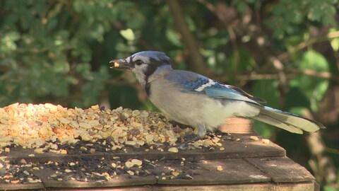 Un oiseau posé sur une mangeoire déguste l'une des nombreuses graines à sa disposition devant un fond de feuilles d'arbres.