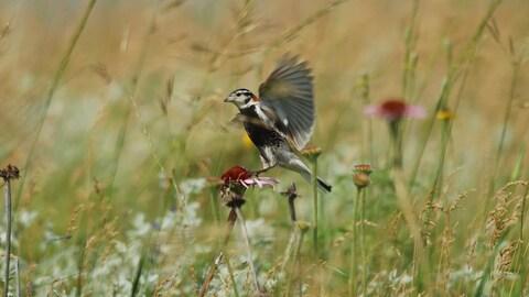 Un petit oiseau, de l'espèce des plectrophanes à ventre noir, se pose sur une fleur dans la prairie.