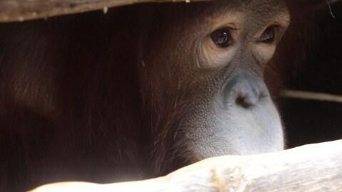 Gros plan sur le visage d'un orang-outan qui regarde à travers sa cage