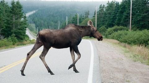 Un orignal qui traverse une route.
