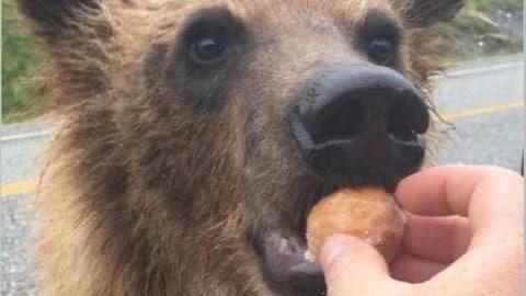 Image d,un jeune ours nourris aux Timbits