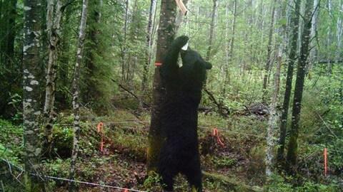 Un ours noir mange des sardines accrochées à un arbre.