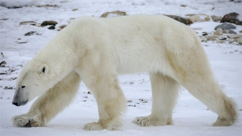 Un ours polaire marche sur la neige.