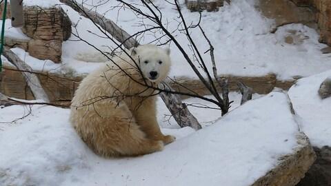Un ours polaire à l'extérieur, dans la neige, avec des branchages d'arbre, qui regarde vers la caméra.