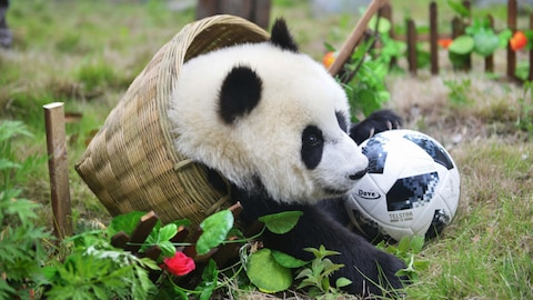 This photo taken on June 10, 2018 shows a panda playing with a football in a basket during a simulated football match at the Shenshuping Base of the China Conservation and Research Centre for the Giant Panda in Wenchuan in China's southwestern Sichuan province, to mark the Russia 2018 World Cup. (Photo by - / AFP) / China OUT        (Photo credit should read -/AFP/Getty Images)