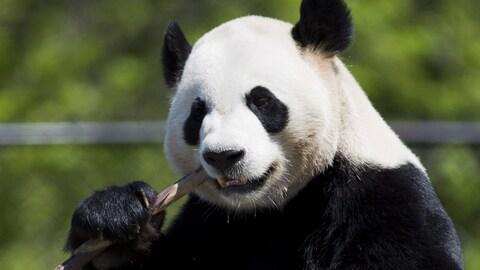 Le panda Da Mao mange du bambou.