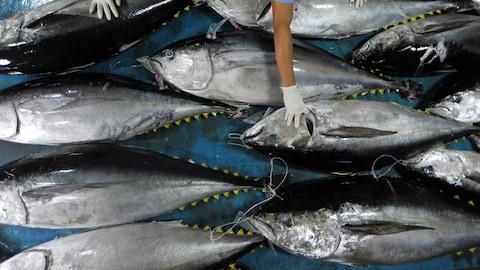 Des thons rouges tout juste pêchés.