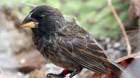 Un spécimen de la nouvelle lignée « Big Bird »