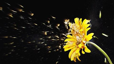 Des graines, soufflées par le vent, se détachent d'une fleur.