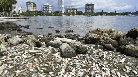 Des morts viennent s'échouer le long des côtés de la ville de Sarasota, en Floride.