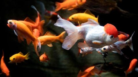 Des poissons rouges et des poissons blancs nagent dans un aquarium.