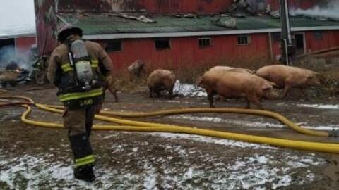 Un pompier et des cochons devant une porcherie qui brûle.