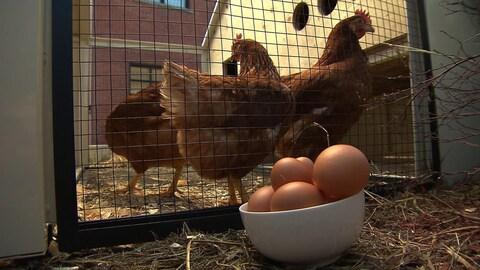 Des poules dans un poulailler conçu par l'entreprise québécoise POC