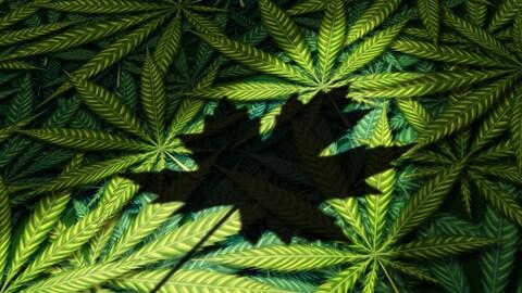 L'ombre de la feuille d'érable sur une image de feuilles de cannabis.
