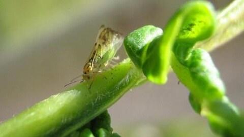 Sur une feuille d'arbre verte, se trouve un petit insecte avec des ailes transparentes, un corps vert et une tête comportant des marques jaunes et noires.