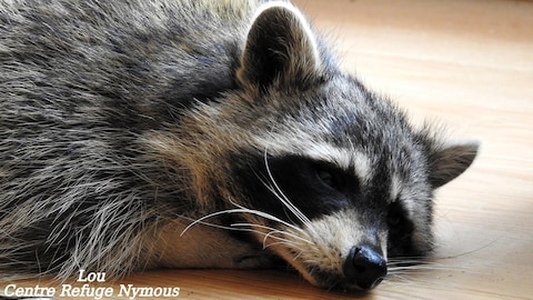 L'animal est coucher par terre.