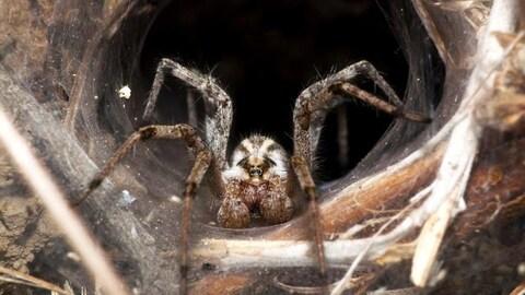 On voit une araignée de face, en gros plan, au centre de sa toile de forme cylindrique tissée à même le sol.