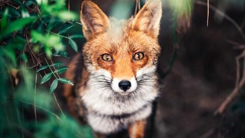 Un renard.