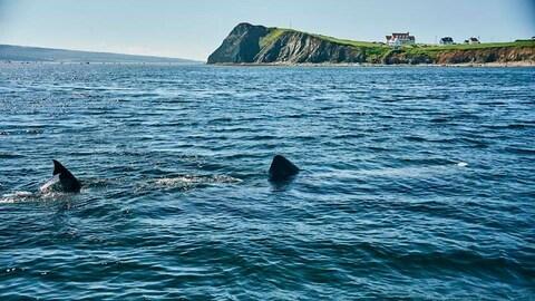 Les requins-pèlerins ont été aperçus près de l'île Bonaventure.