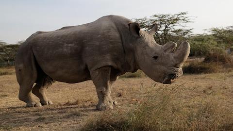 Sudan, le dernier rhinocéros blanc du Nord mâle encore vivant de la planète, vit au Kenya.