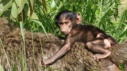 Un jeune singe s'accroche au dos de sa mère.