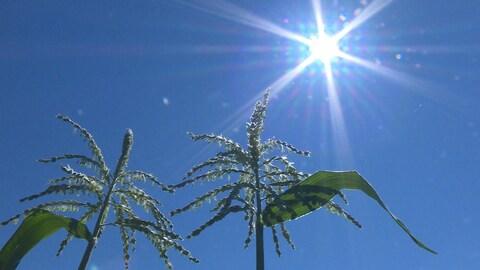 Le soleil plombe sur les plants de maïs.