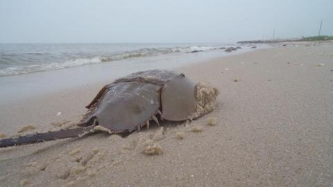 Une limule sur une plage dans le baie du Delaware.