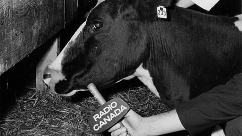 Dans un abattoir, le bras du journaliste Jean-Guy Roy tend le micro de Radio-Canada vers une vache.