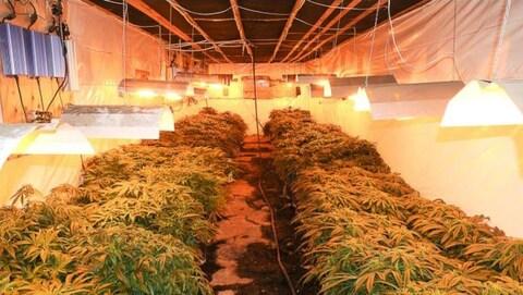 Saisie de 1500 plants de cannabis par la SQ