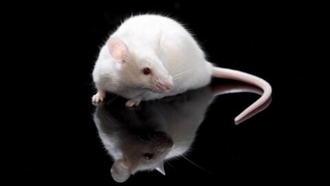 Une souris blanche de laboratoire, sur un fond noir.