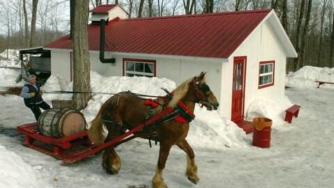 Propriétaire avec un cheval qui tire un baril d'eau d'érable près d'une petite cabane.