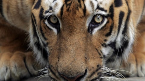 A tiger drinks water inside a zoo on a hot day in Karachi June 24, 2005. At least 375 people have died from sunstroke and dehydration in a month-long heat wave sweeping India, Nepal, Pakistan and Bangladesh, as South Asia endures one of its hottest summers on record, authorities said. REUTERS/Zahid Hussein  ZH/JJ - RP6DRMSTBNAB
