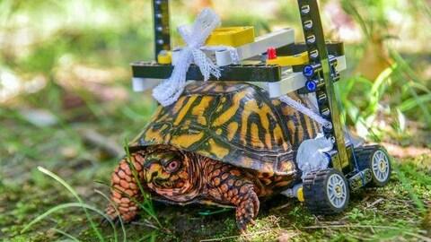 Une tortue se déplace en fauteuil roulant en Lego sur une pelouse.