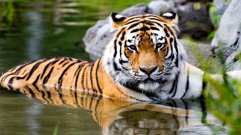 Un tigre à moitié dans l'eau.
