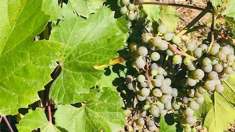 Gros plan sur des grappes de raisins et des feuilles de vigne.