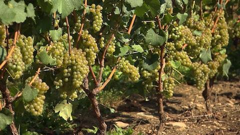 Des raisins sur des vignes.