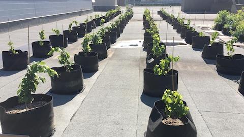 Des cépages hybrides ont été choisis pour leur résistance au climat québécois.