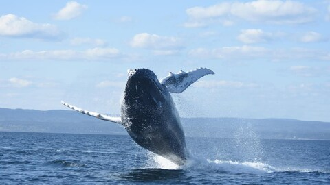A whale breaching out of water.