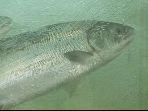 Saumons dans la passe migratoire de la rivière Matane