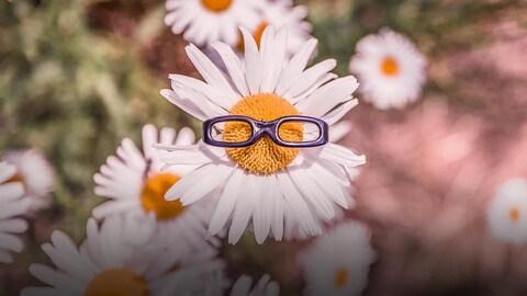 Une marguerite portant des lunettes.