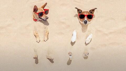 Deux petits chiens enfouis dans le sable affublés de lunettes de soleil; celui de gauche regarde celui de droite avec un sourire