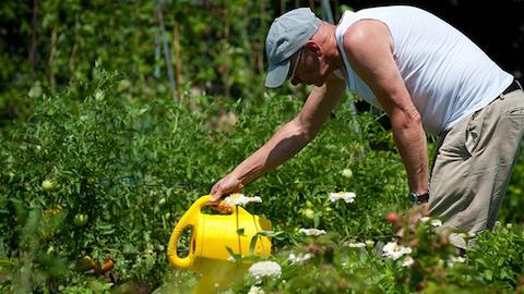 Un homme arrose ses plantes dans un jardin communautaire.