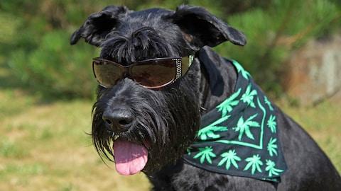 Un chien au pelage noir portant un foulard avec des feuilles de cannabis