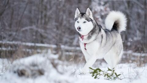 La résistance au froid, en particulier chez les chiens, dépend en grande partie de la race. Pour les huskys, le froid est une partie de plaisir.